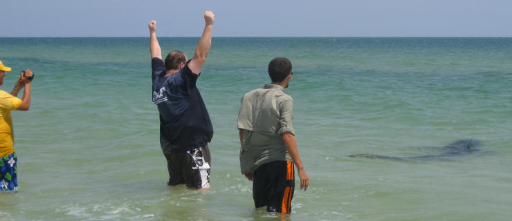 Releasing large tiger shark